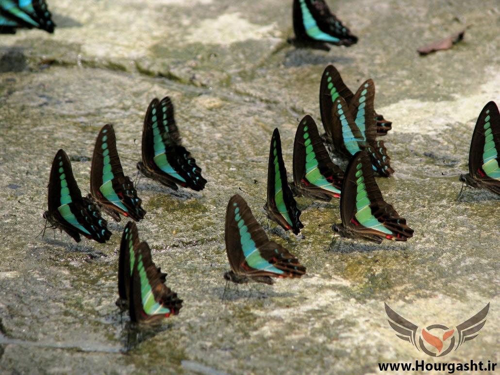 مالزی پروانه زیاد داره